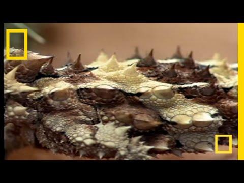 moloch: la diabolica lucertola australiana.