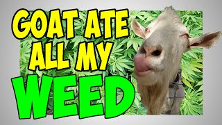 GOAT ATE ALL MY WEED by Soundrone