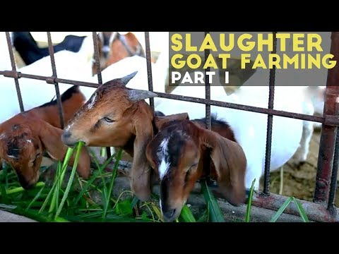 Slaughter Goat Farming in the Philippines - Agribusiness Season 1 Episode 3 Part 1