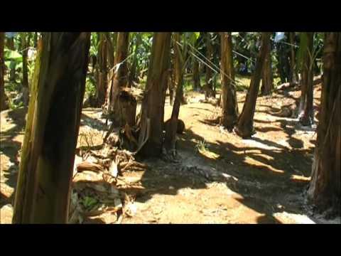 Del Monte Banana Plantation, Costa Rica