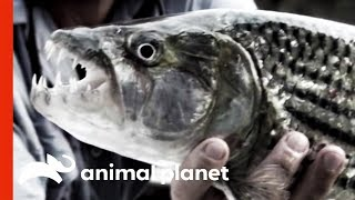 Giant Sinister Fish in the Zambezi River by Animal Planet