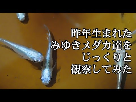 【メダカ飼育】昨年生まれた青みゆき(幹之)メダカを観察してみた