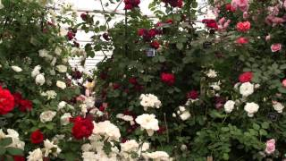 #713 Chelsea Flower Show 2012 - Peter Beales Classic Roses