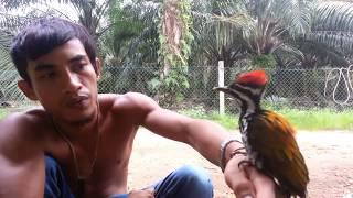 Video burung pelatuk jantan janggar merah ke pingan yang jinak MP3, 3GP, MP4, WEBM, AVI, FLV April 2019
