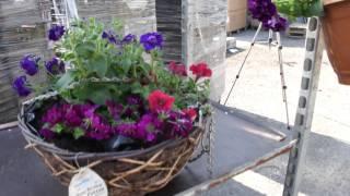 #392 Weitere Ideen mit Ampelpflanzen für sonnige Standorte (Verbene, Petunia)