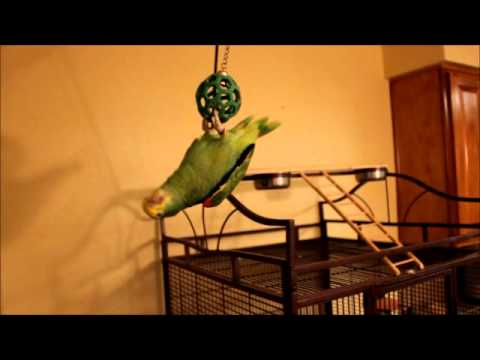 Magna Double Yellow Head Amazon Parrot talking and dancing