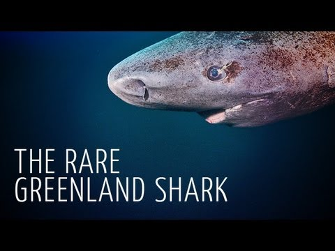 Une rencontre rare avec un Requin du Groenland