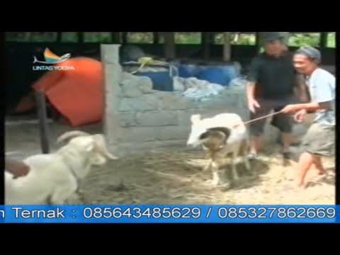 Budidaya Ternak Domba Garut (Liputan Indosiar)
