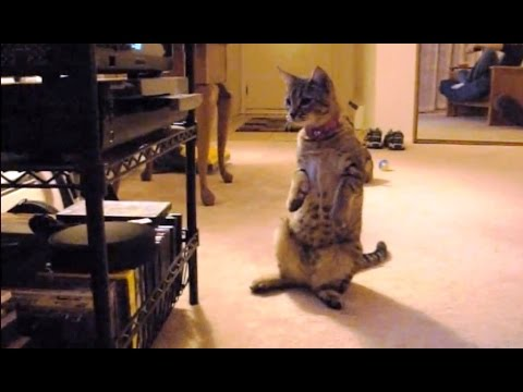 Cats Confused By DVD Players