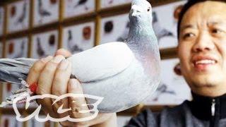 China's Millionaire Pigeon Racers (Part 3/3)