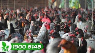 Chăn nuôi gà | Điều trị bệnh cầu trùng ghép nhiễm khuẩn kế phát ở gà Ai Cập
