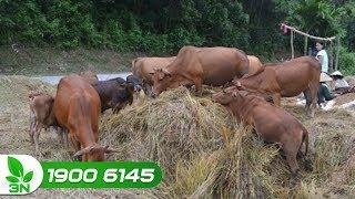 Chăn nuôi bò | Trị bệnh đường tiêu hóa và viêm tử cung sau sinh cho bò