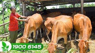 Chăn nuôi | Bò bị sót nhau: Có thực sự nguy hại?