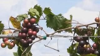 http://www.tytyga.com/Wildlife-Muscadine-Grape-p/wildlife...vine.htm Muscadine grape vines are native plants to...