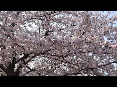 Chuva de Sakura I Japão a terra do sol nascente
