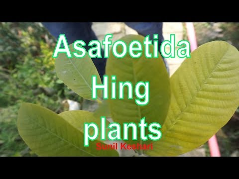 Asafoetida Plant Or Hing Plants Video