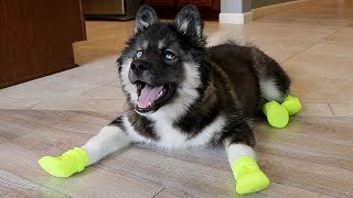 Funny Huskies Try Shoes For The First Time!