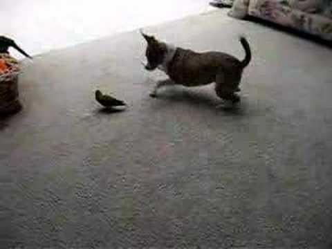 Chihuahua vs Lovebird