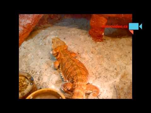 Agama vousatá miluje mokrý písek