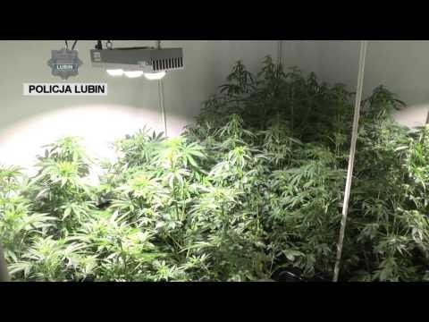 Wideo: Rodzinny biznes narkotykowy. Jeden uprawiał konopie indyjskie drugi udostępniał marihuanę.