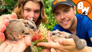 Secrets of Sugar Gliders REVEALED! Not as Cute as they LOOK! by Brave Wilderness