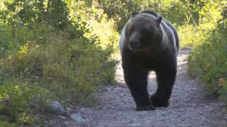 Video Grizzly Bear Encounter  Aug 2016 Montana Glacier National Park Viceo 3 MP3, 3GP, MP4, WEBM, AVI, FLV Mei 2017
