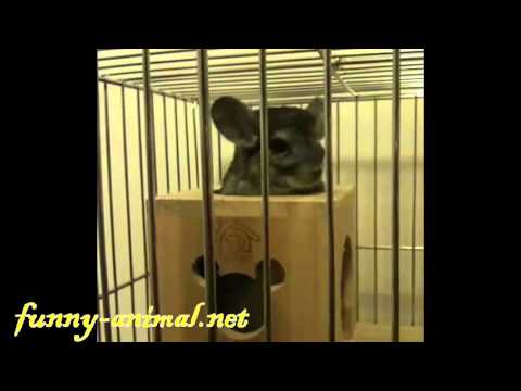 chinchilla-barking-it-wants-to-get-out-of-cage