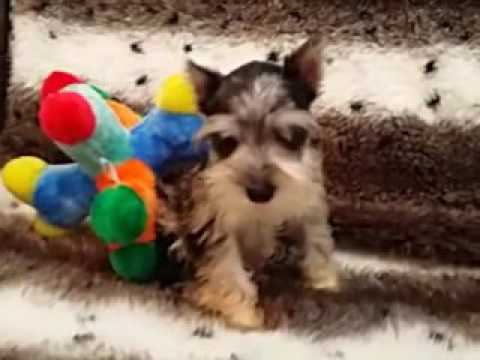 GORGEOUS AND PLAYFUL MINI SCHNAUZER