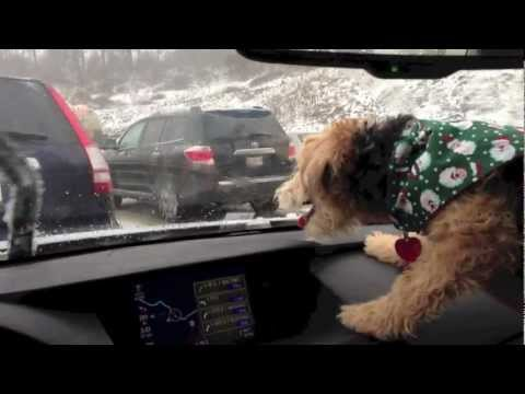 797 wipers - Our eight month old Lakeland Terrier, Birdie, freaking out over the windshield wipers on our ride home for the holidays.