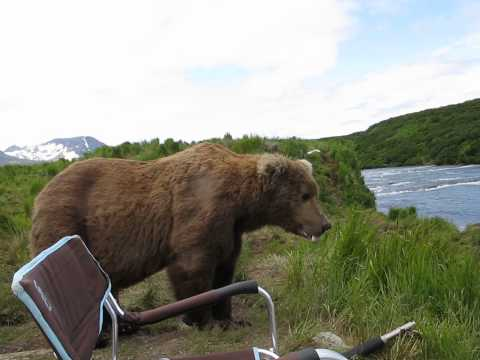 A Yawning Kodiak Bear Slowly Takes a Seat Next to a Group of Riverside Photographers in