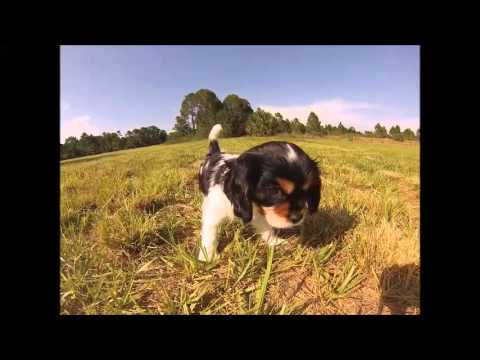 Lexington The Cavalier Puppy