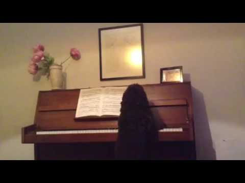Cockapoo Concerto - Dog Playing Piano
