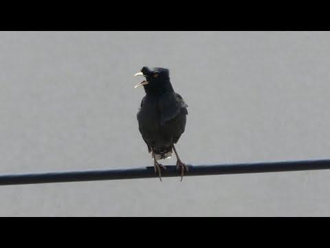 横浜では有名な外来生物。さえずり声が美しいハッカチョウ@横浜市戸塚区【4K映像】