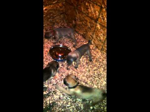 big bad barking puppies