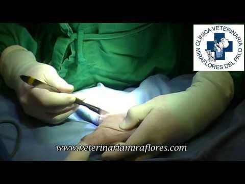 amputacion - Describimos la técnica de amputación de una extremidad en una gata, tras sufrir una necrosis en el pie.