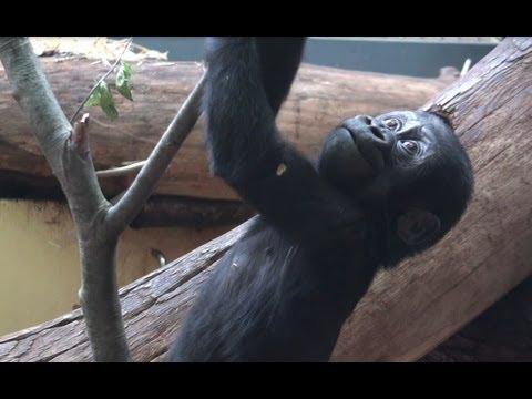 Funny Little Gorilla Baby / Monkey For Children – CTL4world
