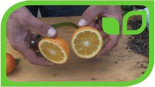 Volkamerzitronen: Ernten und degustieren