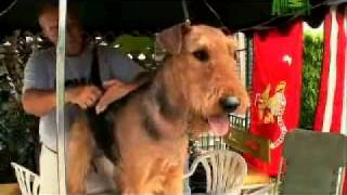Dogs 101   Airedale Terrier