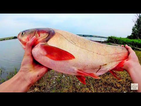 летняя рыбалка на толстолобика видео