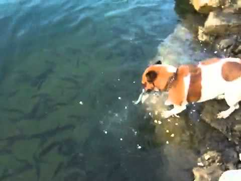 jack russell catches fish
