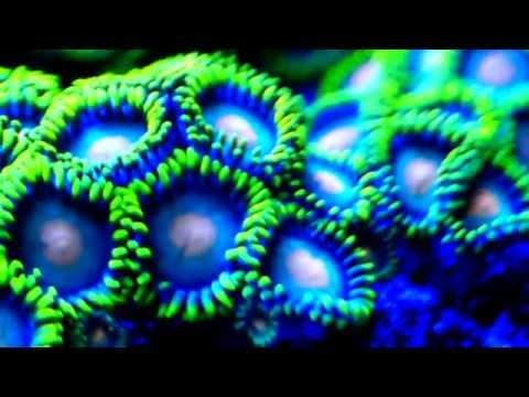 korallen ableger meerwasser led beleuchtung nano aquarium blog. Black Bedroom Furniture Sets. Home Design Ideas