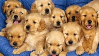 Nonton Best Funny and Cute Puppy Videos Compilation 2017 -Cute Overload Film Subtitle Indonesia Streaming Movie Download