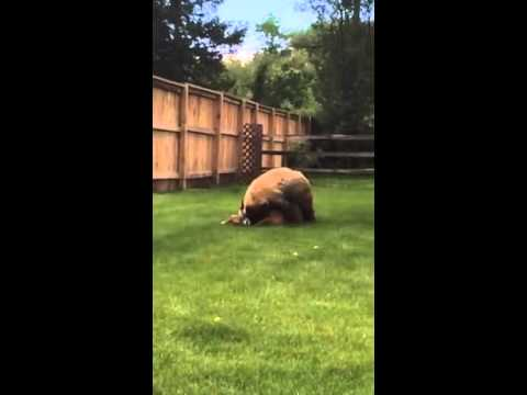 Clip Gấu tấn công ăn thịt Hươu ngay phía sau nhà