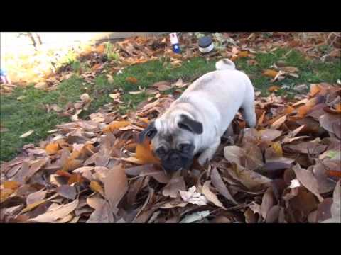 Cute Pug Puppy following me through Leaf Pile