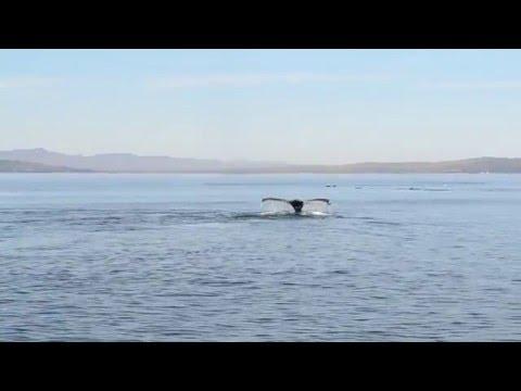Dauphins et baleines à bosse au parc national Forillon.