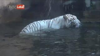 Download Video Inilah Penampakan Nyata  Asli Harimau Putih Sedang Mandi MP3 3GP MP4