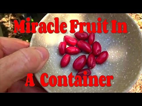 Miracle Fruit Tree Grown In A Container
