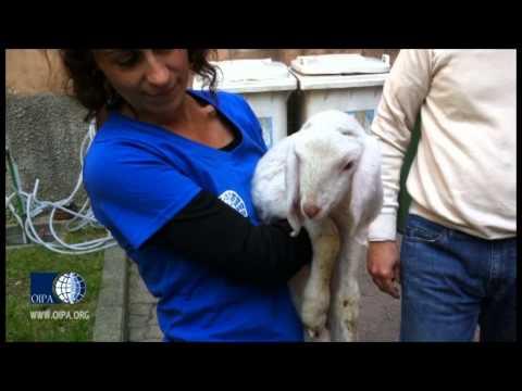 agnellino di un giorno di vita salvato dal macello