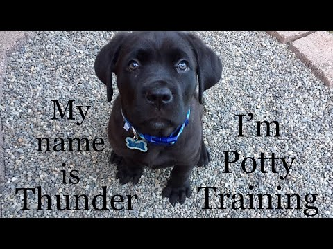 8 Week Old Puppy Is Potty Training (how To Train Quickly)