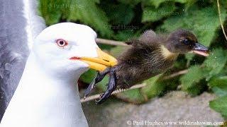 Seabird attacks and devours a baby water bird